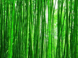 Čaj z bambusových lístků zeštíhluje a podporuje odbourávání přebytečného tuku v těle.